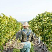 Winemaker on wineyard.